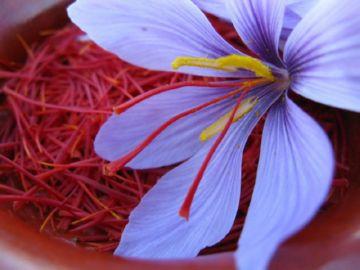 шафран и цветок крокуса