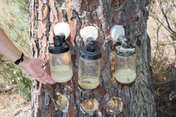 добыча смолы из коры деревьев