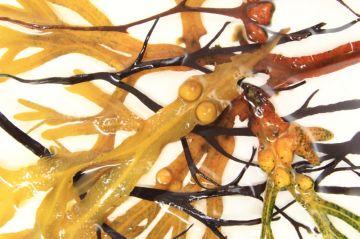 бурые водоросли